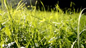 Walk across the grass in a meadow full of dew in the morning at sunrise. In Slovakia stock video footage