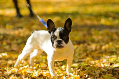 A walk along autumn alleys. A French bulldog on yellow leaves. Russia, Volgograd region, 9 October 2014 Royalty Free Stock Photos