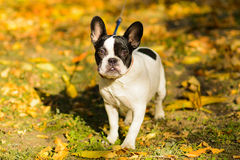 A walk along autumn alleys. A French bulldog on yellow leaves. Russia, Volgograd region, 9 October 2014 Stock Images