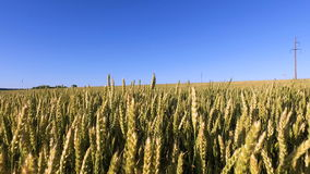 Walk along a wheat field. Wheat born a tall and thick. Beautiful ears of wheat. stock video