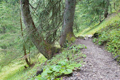 Walk in the alps spruce forest Royalty Free Stock Photography