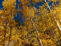 Walk Through The Aspens in Fall. Love the different shades of yellow against the dark blue and cloudless sky. Taken near Phantom Canyon, in the fall. It`s hard Stock Images