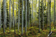 A Walk Through the Aspens. Gove of aspens turning autumn yellow in the Wasatch mountains in Utah USA Royalty Free Stock Image