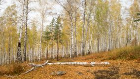 A walk through the autumn forest - a large number of birches with autumn leaves. Travelling to Russia.  royalty free stock photos