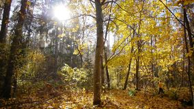 Walk in autumn forest stock footage