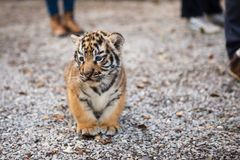 Walk with a baby tiger Royalty Free Stock Photography