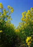 Rape field frosh perspective royalty free stock image
