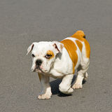 Walk bulldog Stock Image