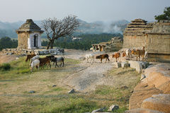 The walk of the bulls in the ancient city Royalty Free Stock Photography