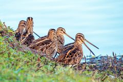 A Walk of Common Snipe - Gallinago gallinago.