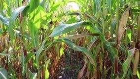 Walk through the corn field stock video footage