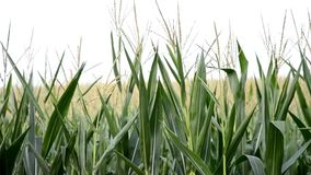 Walk cross maize field stock footage