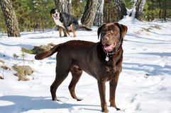 Walk the dog. Labrador Retriever and his friend at walk the dog in winter forest Royalty Free Stock Image