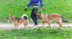 Walk  dog on a leash in the park. Walk with a dog on a leash in the park Royalty Free Stock Photo