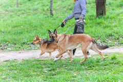 Walk  dog on a leash in the park Stock Images