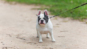 Walk  dog on a leash in the park. Walk with a dog on a leash in the park Stock Images