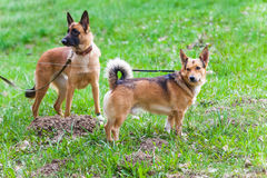 Walk  dog on a leash in the park. Walk with a dog on a leash in the park Royalty Free Stock Image