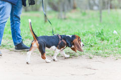 Walk  dog on a leash in the park. Walk with a dog on a leash in the park Royalty Free Stock Images