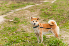 Walk  dog on a leash in the park. Walk with a dog on a leash in the park Stock Image