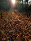 A walk with dogs. In the forest filled with autumn leaves stock images