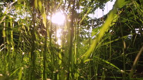 Walk in the evening summer forest. Make his way through the bushes. Crawling through the grass. stock footage