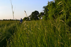 Walk on the field. Of wheat by a summer evening Stock Photo