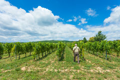 Walk on fields. Elderly winemaker walking between rows of grapevine royalty free stock photo