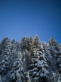 Walk through the fir forest royalty free stock image