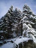 Walk through the fir forest royalty free stock photos