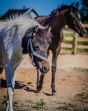 Walk foals . Stock Photo