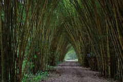 Walk through a forest of large and tall bamboo royalty free stock image