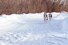 Walk with funny pets. Siberian husky dogs playing on winter walk. Walk with funny crazy pets. Siberian husky dogs playing on winter walk stock images
