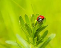 A walk through the grass ladybug. Adybug went out to walk in the spring sunshine Stock Photo