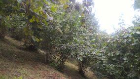 Walk in hazelnut garden stock image
