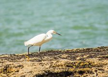 Heron walking on the seashore. The walk of the heron by the sea in a photograph captured on the beach of Guarapari, in the State of Espírito Santo, Brazil royalty free stock photography