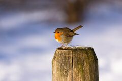 A beautiful Robin on a pole. During a walk I came across this beautiful robin. these birds are super curious. so I sat down on the ground and after a few minutes