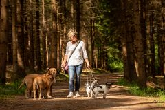 Walk with many dogs on a leash. Dog walker with different dog breeds in the forest stock image