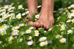 Walk in a meadow. Summer walk barefoot through a meadow full of daisies Stock Image