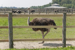 Walk of an ostrich Stock Photo