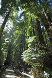 A walk in the park. Muir woods national monument, Marin county, California Stock Image