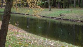 Ducks swim in the pond in the city park during the day stock footage
