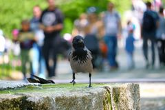 Crow walking in a fountain in front of blurry people in the sun in an urban park in berlin Stock Images
