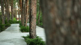 Walk in the park between the pines. Translation of focus stock footage