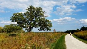 A walk in a park trail. A person is walking on a park trail on a sunny summer day among wild grasses and old oak trees Stock Images