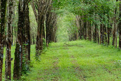 Walk path in latex forest Stock Photography