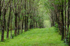 walk path in latex forest Stock Photo