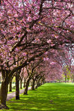 Walk path surrounded with blossoming plum trees Stock Photography
