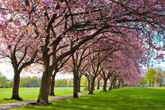 Walk path surrounded with blossoming plum trees Stock Images