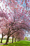 Walk path surrounded with blossoming plum trees Stock Photos