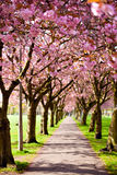 Walk path surrounded with blossoming plum trees Royalty Free Stock Photos
